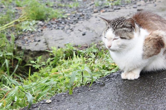 田代島のねこさん画像だよ